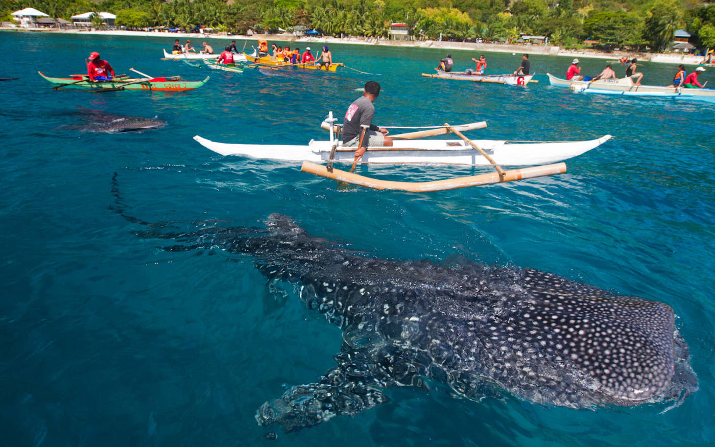 Canoes in sea with large sea mammal swimming below