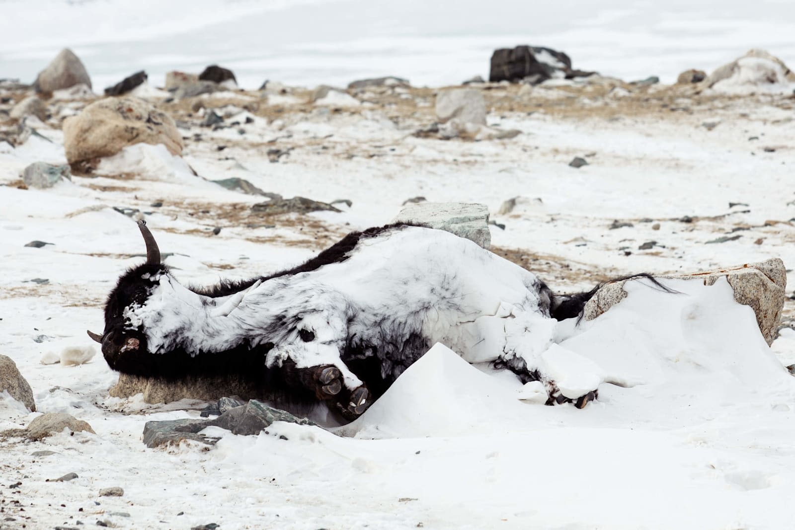 A Mongolian Moose frozen to death on a mountain