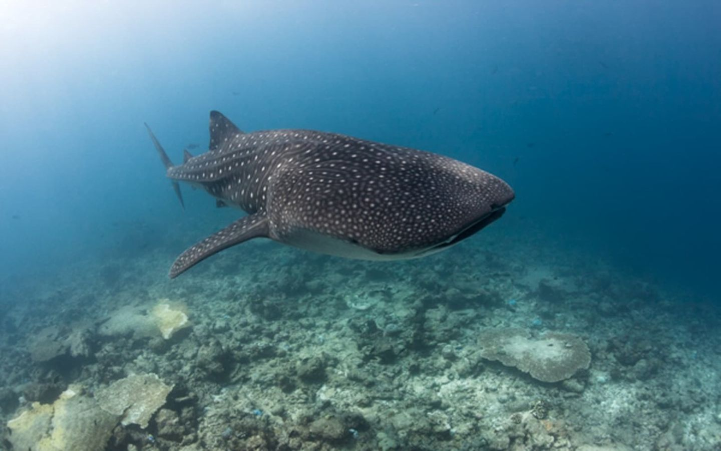 Image of a whale shark swimming in the ocean