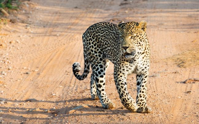 A leopard prowls  across the savannah