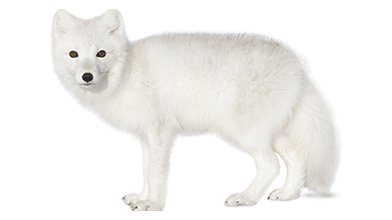 Wild things critter Arctic Fox