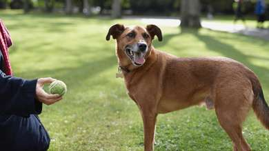 Dog playing catch with a green tennis ball