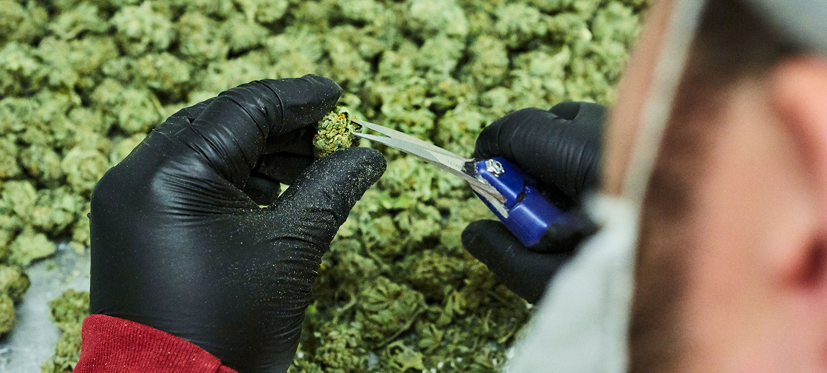 Careful hand trimming of marijuana buds at Native Roots Cannabis Co. in Denver, CO shows the time we spend and attention to detail we take with all of our products.