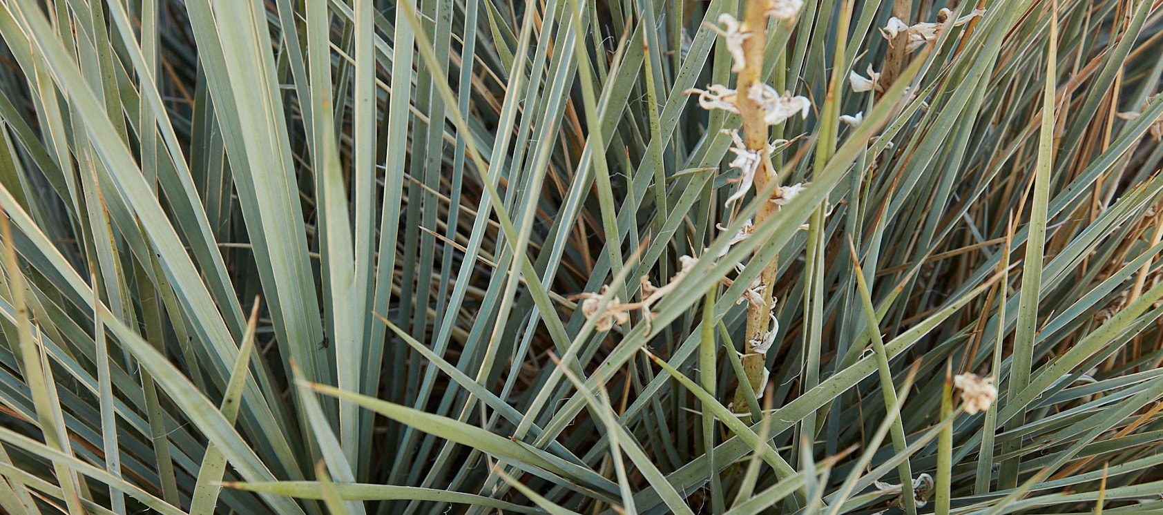 Yucca at Red Rocks Park Trail while trail running for Native Roots Cannabis Co.