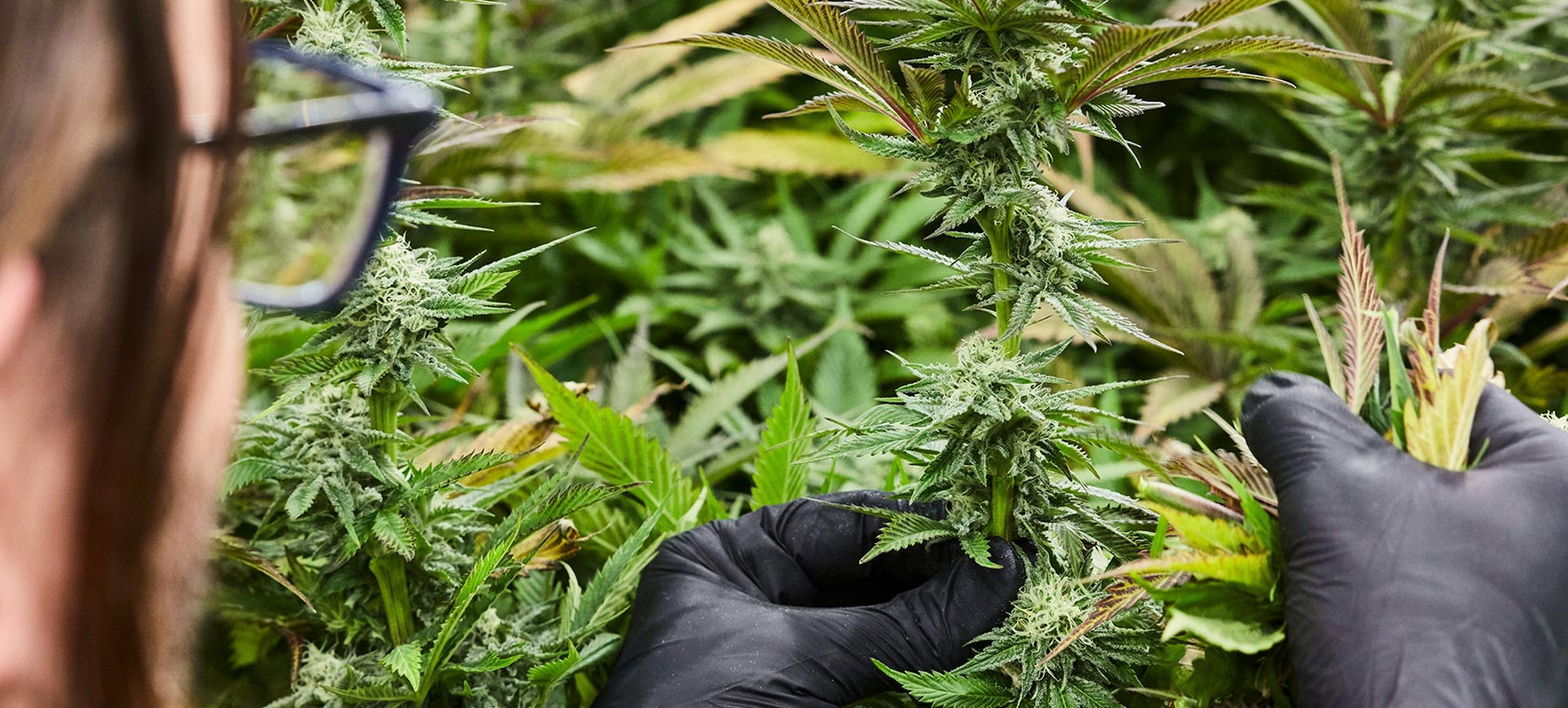An employee de-fanning a flowering marijuana plant at the Native Roots Cannabis Co. in Denver, CO
