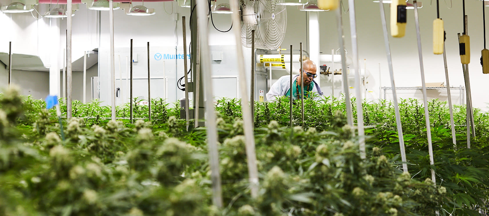 De-fanning plants at the Native Roots Cannabis Co. grow facility in Denver, CO.