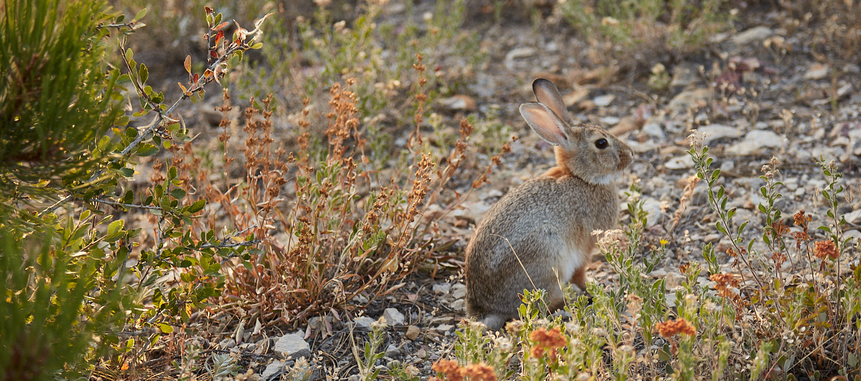 Rabbit on the trail on Dakota Ridge near Denver, CO for Native Roots Cannabis Co.