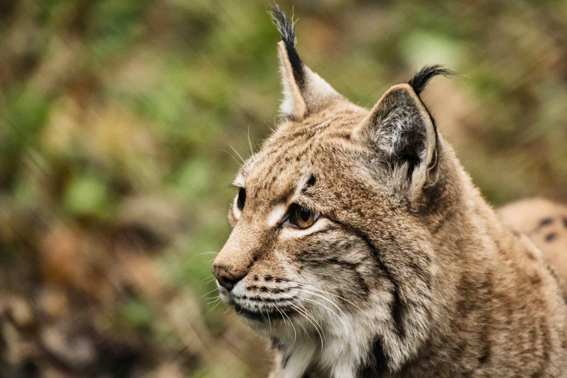 Luchs aus dem Natur- und Tierpark Goldau / Voralpen-Express