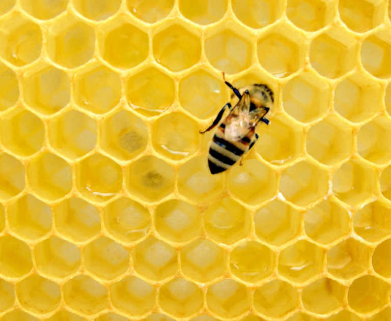 Photograph of honeycomb with honey bee at work on top.