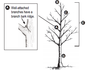 Young tree pruning diagram