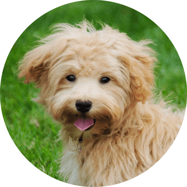 Hund Mini-Line Maltipoo2 Bubble