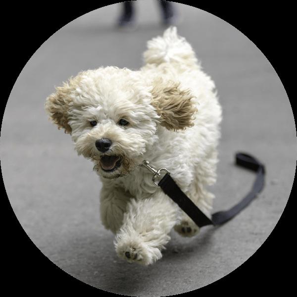 Hund Mini-Line Maltipoo1 Bubble