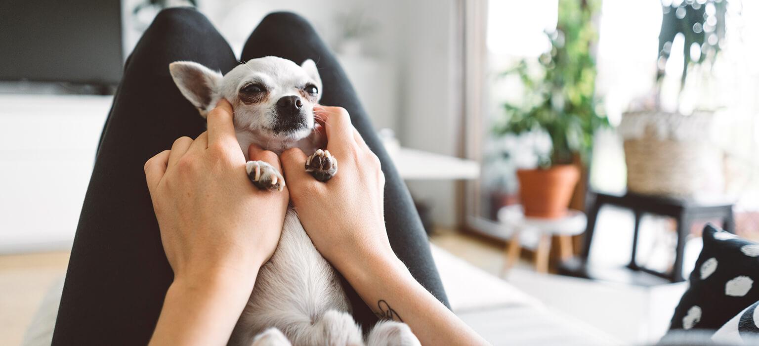 Header-Chihuahua-Mobile