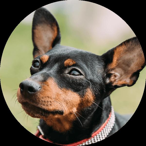 Hund Mini-Line Zwergpinscher1 Bubble