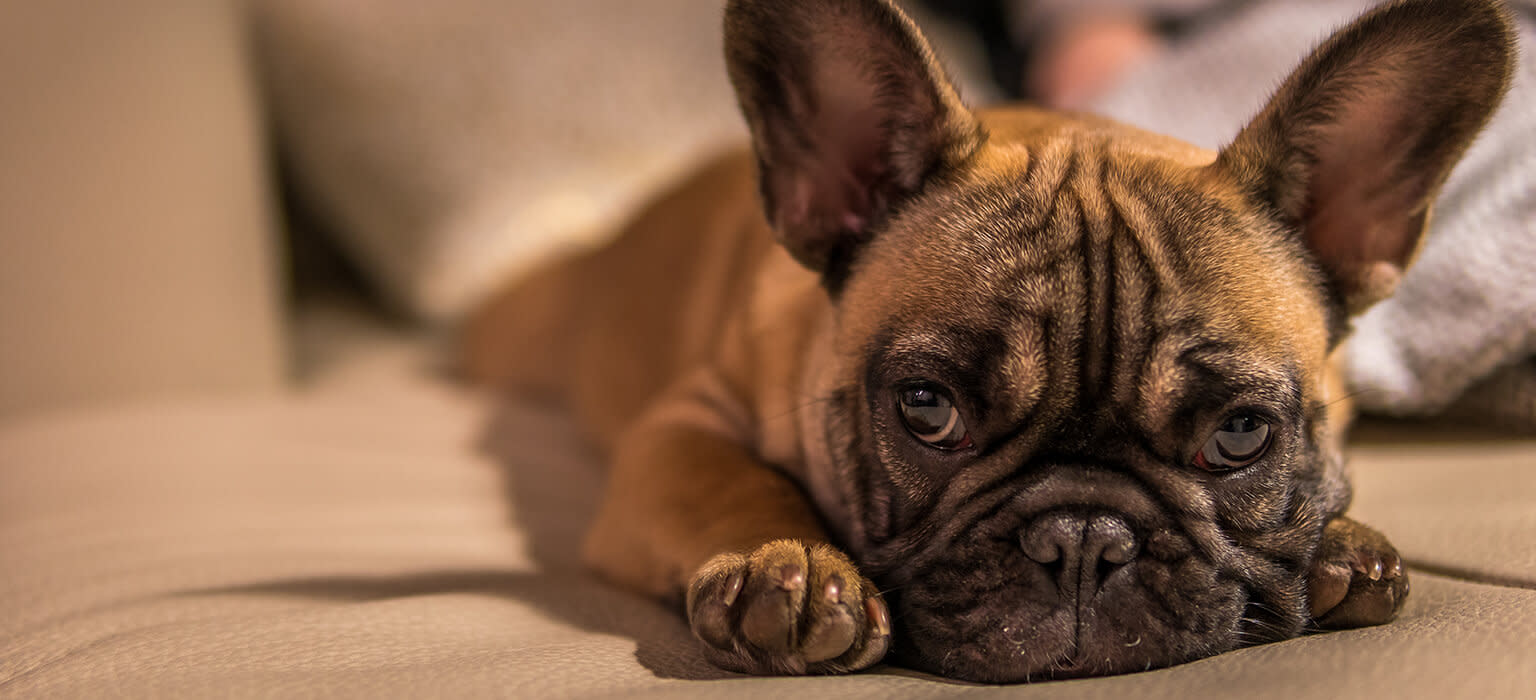 210614 CDP Mobile Frenchie