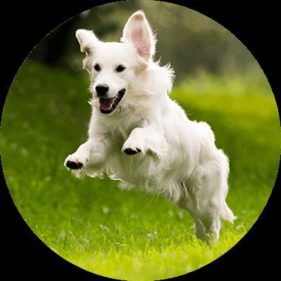 Weißer Hund springt über die Wiese