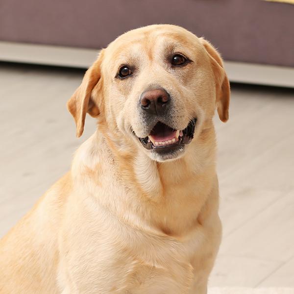 210614 Hunderassen Bubble Labrador portrait