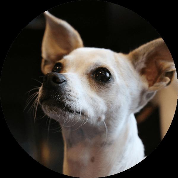 Bubble-Chihuahua