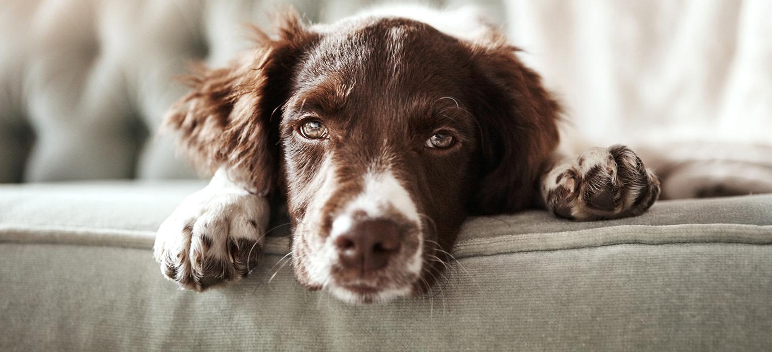 slider-hund-sofa-mobil