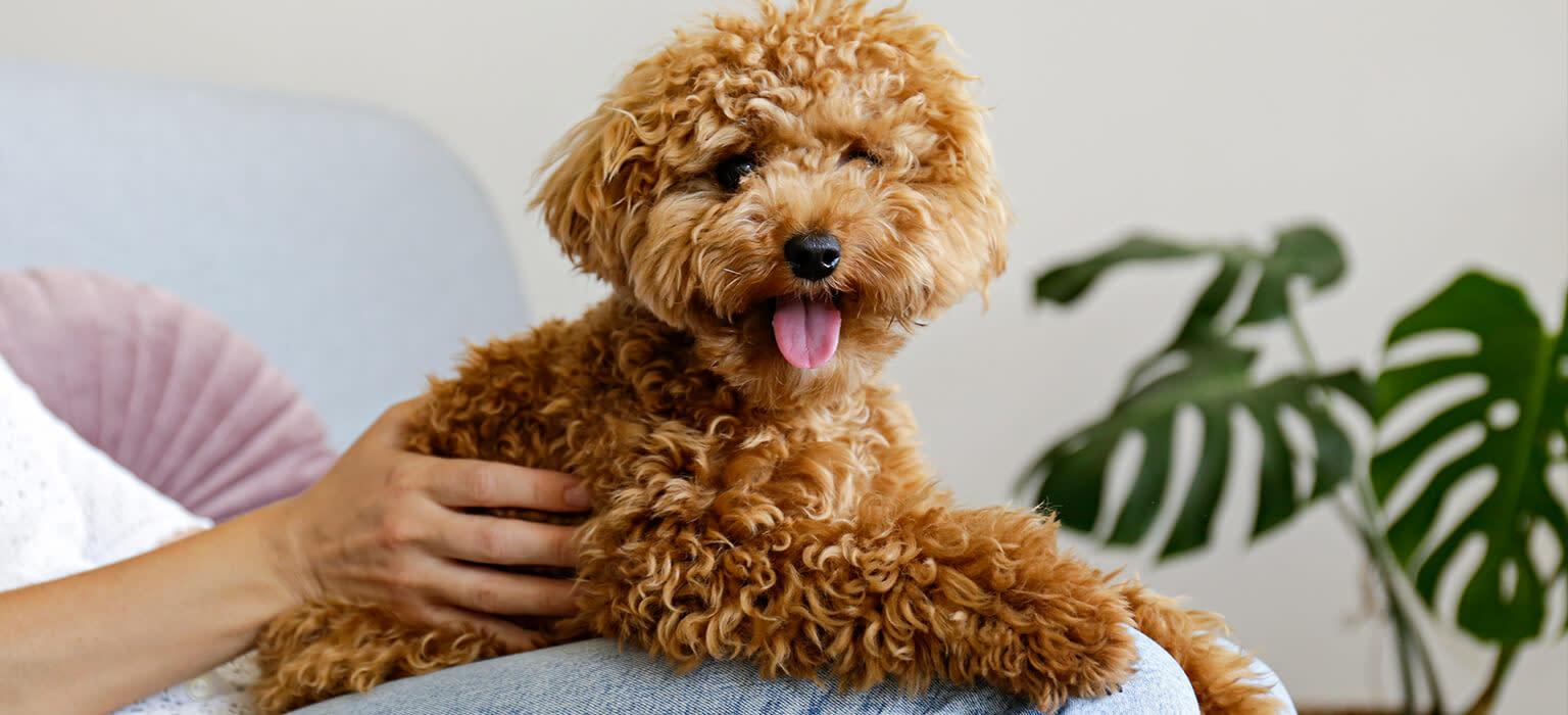 Hund Mini-Line Maltipoo Mobile