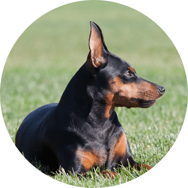 Hund Mini-Line Zwergpinscher2 Bubble