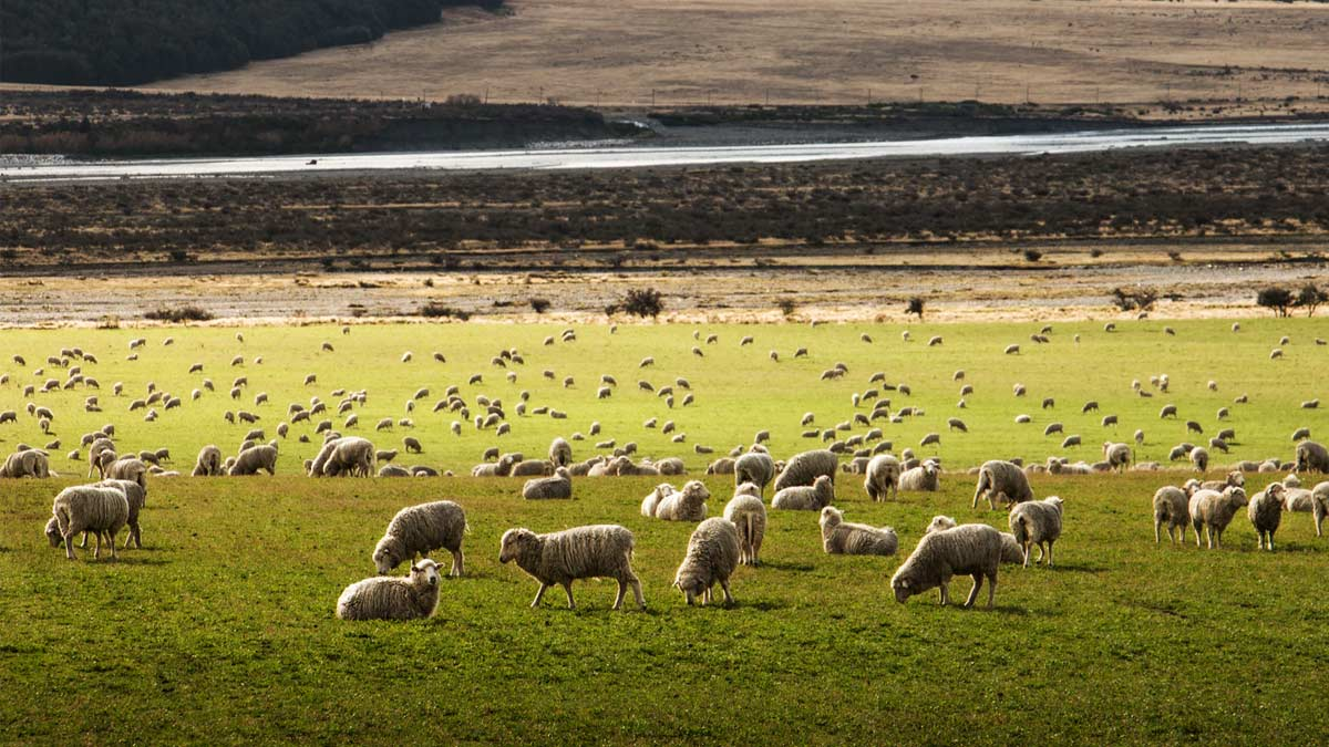 Field full of sheep in New Zealand