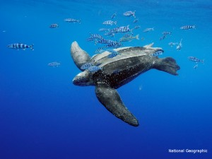 A leatherback turtle swims just beneath surface waters. Note the monofilament fishing line caught on this animal.
