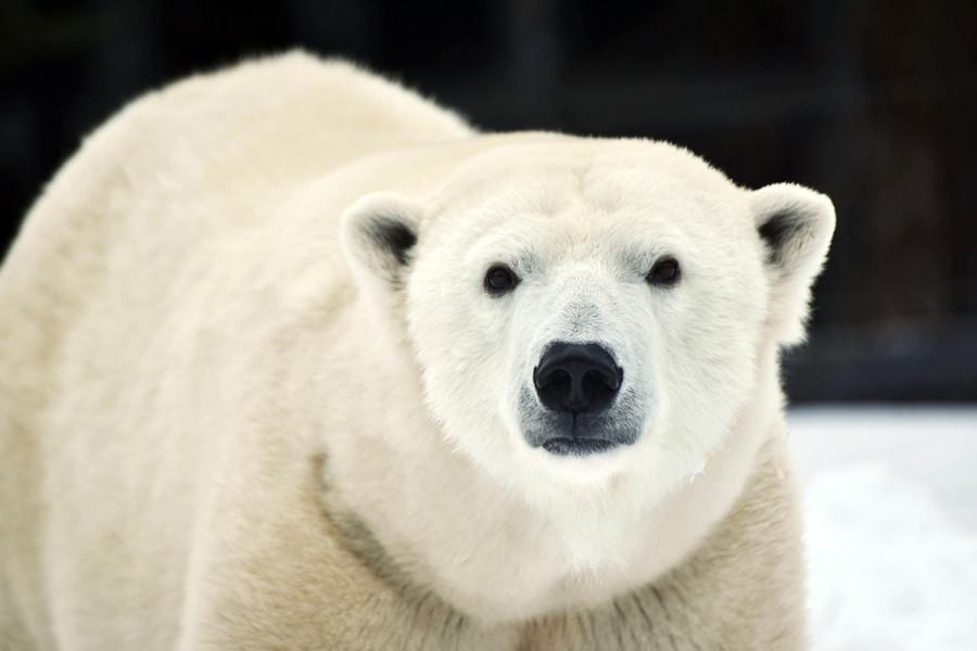 Polar bear for Earth Day