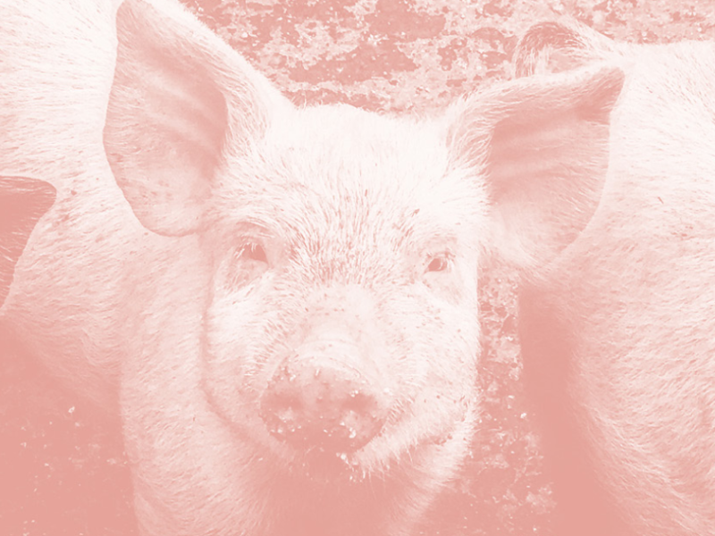 Picture of pigs with pink filter