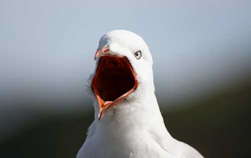 loud-mouth-seagull