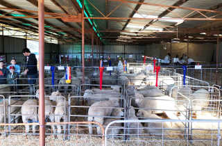 Show sheep competition.