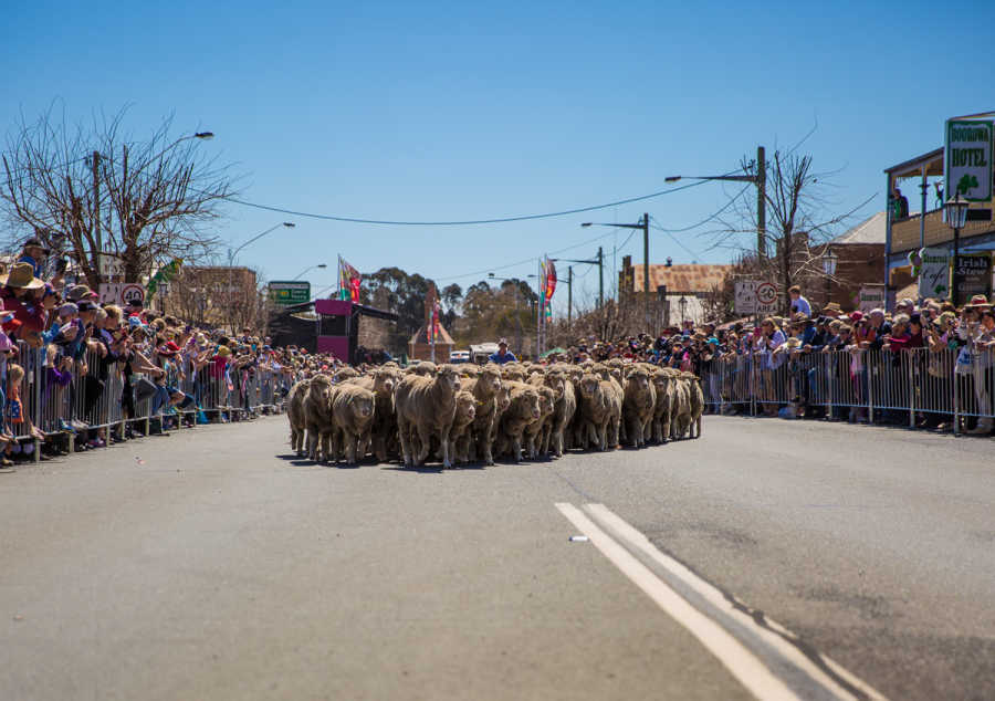 Running of the sheep at the Boorowa Irish Woolfest.