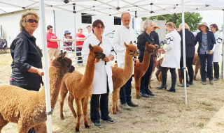 Alpacas at the show