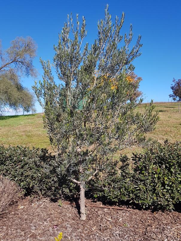 """Olea europaea """"Manzanillo"""" - Olive Trees"""