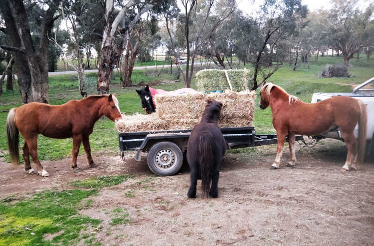The Centre's horses enjoying their hay.