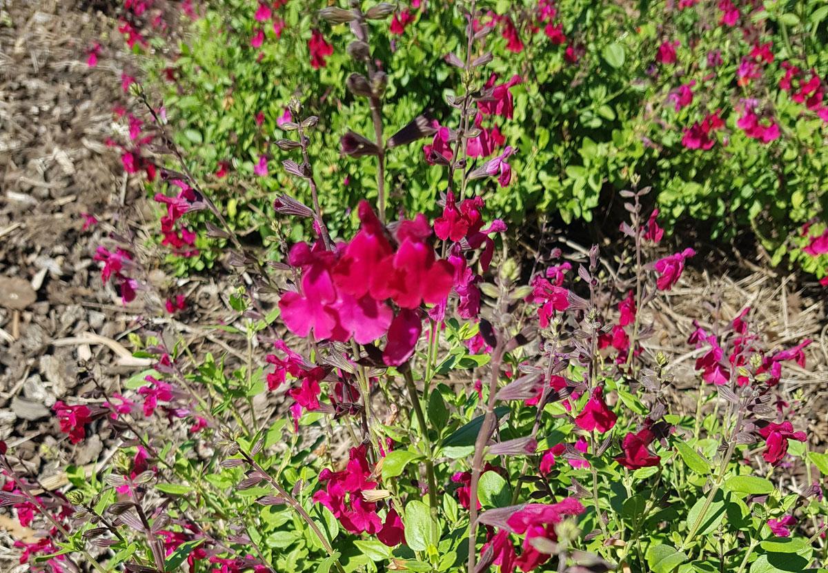 Salvia Silas Dyson
