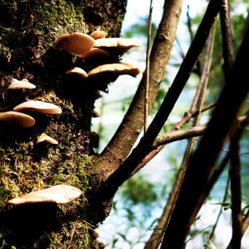 Pilzwachstum am Baum