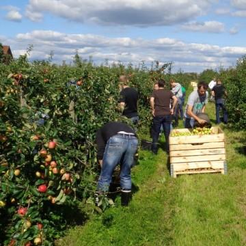 Menschen pflücken Äpfel