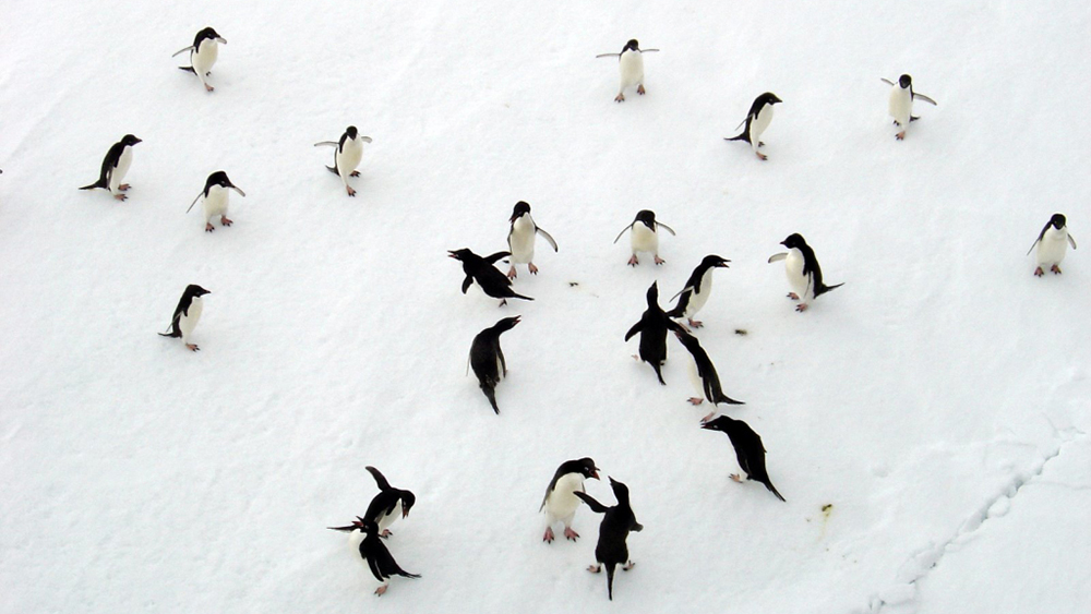 2-adelie-penguins-dance-on-the-ice