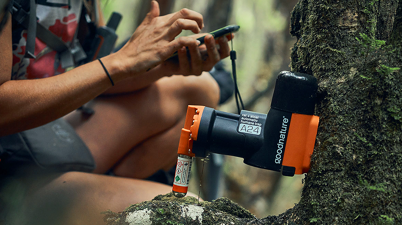 Person setting up good nature trap on tree with smartphone