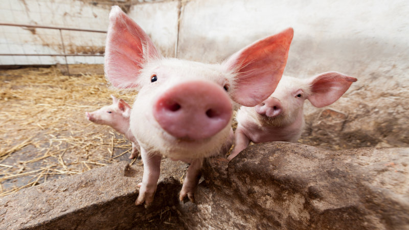 AveMix® 02 CS enzyme combination for piglet feed that makes the difference