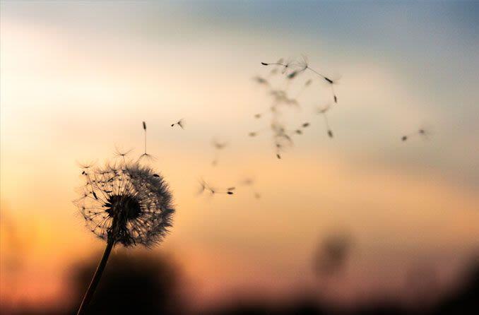 fleur sauvage de pissenlit