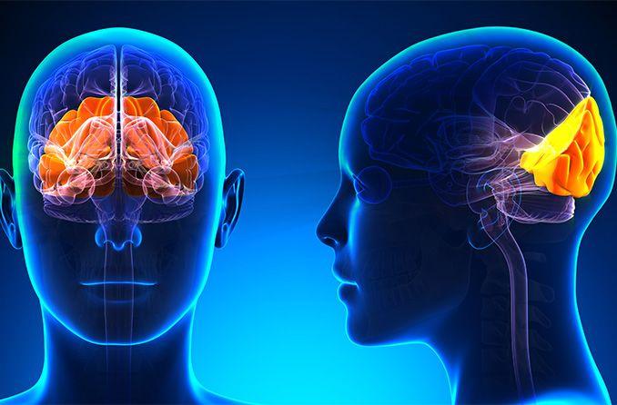 How does the brain control eyesight?