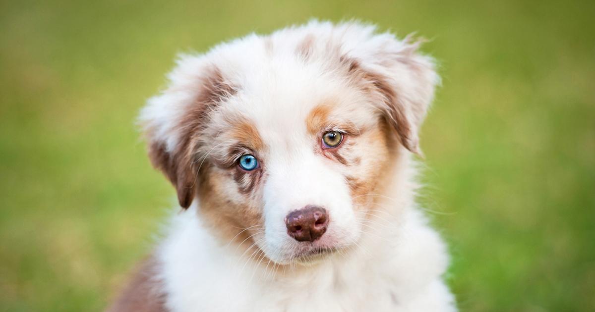Heterochromia: 2 Different-Colored Eyes