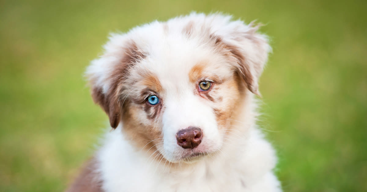 Dog with heterochromia