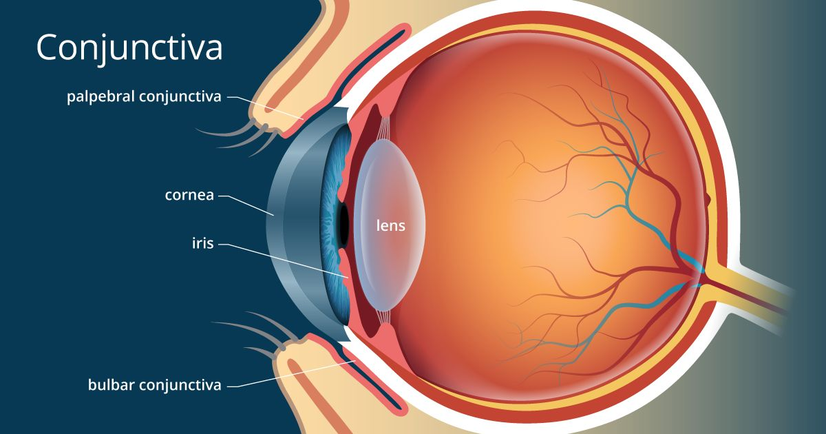 illustration of the conjunctiva of the eye