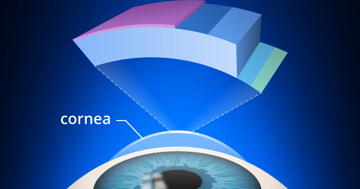 cross-section of cornea