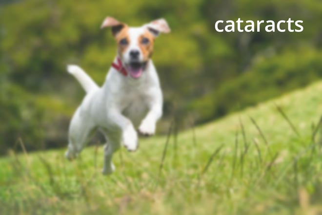 Jack Russell - cataracts in English