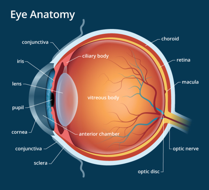 human eye anatomy (seen from above)