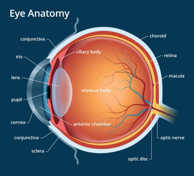 human eye anatomy (seen from above)